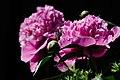 Romania flowers 3397 (5895210741).jpg