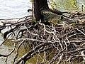 Roots Parkers Creek Jordan Lake NC SP 3815 (36142687655).jpg