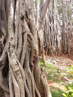 Dodda Alada Mara - Roots of the tree