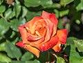 Rosa 'Bonfire' in Dunedin Botanic Garden 04.jpg