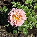 Rosa 'Senteur Royale' (d.j.b).jpg