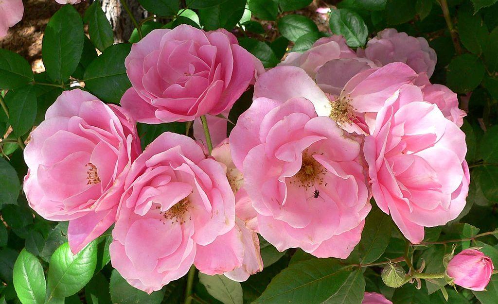 Китайская роза картинка