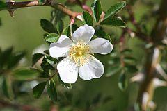 240px rosa agrestis 05072006 5