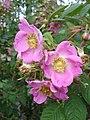 Rosa caudata1UME.jpg