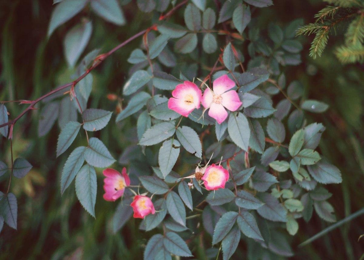 Rosen: Pflanzen, Pflege, Krankheiten - Mein schöner Garten
