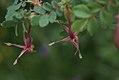 Rosa glauca inflorescence (02).jpg