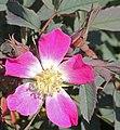 Rosa glauca inflorescence (13).jpg