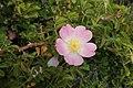 Rosa rubiginosa kz3.jpg