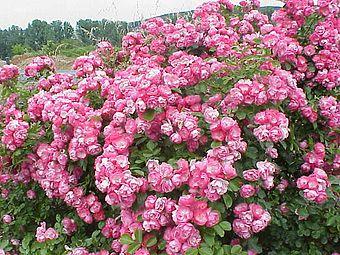 Rosa sp.34.jpg