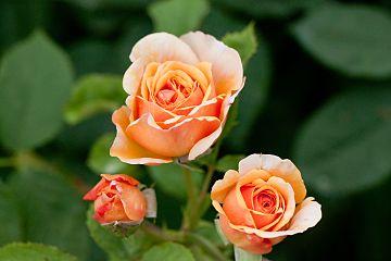 Rose, Charles Austin.jpg