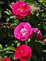 Roses at Khrestovozdvyzhensky (Holy Cross) Convent - Poltava - Ukraine (43843164971).jpg