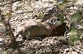 Round tailed ground squirrel.jpg