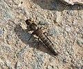 Rove Beetle possibly Ocypus aeneocephalus. Staphylinidae (37634067041).jpg