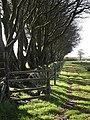 Row of beeches near Prince Hall - geograph.org.uk - 593820.jpg
