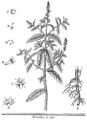 Rozier - Cours d'agriculture, tome 6, pl. 12, menthe à épi.png
