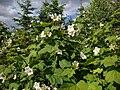 Rubus parviflorus Valkovatukka Nutkahallon C DSC03153.JPG