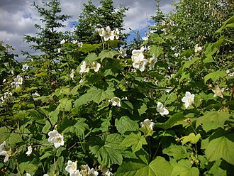 Rubus parviflorus - Cultivated plant in the Helsinki University Botanical Garden, Finland