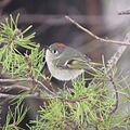 Ruby-crowned Kinglet (16972653419).jpg