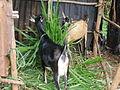 Rwandan farm cooperative goats.jpg