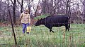 Ryan Kuster with a cow (38975237155).jpg