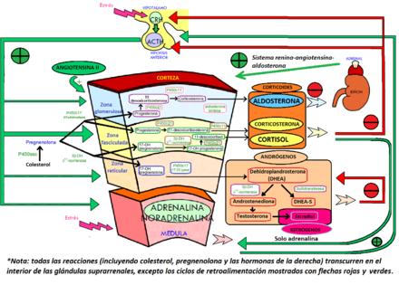 Glándula suprarrenal - Wikiwand