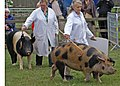 Saddleback and an Oxford Sandy and Black Sow being Judged (3715908175).jpg