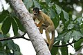 Saimiri boliviensis boliviensis (Common Bolivian Squirrel Monkeys).jpg