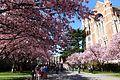Sakura @ University of Washington, Seattle (6909821692).jpg
