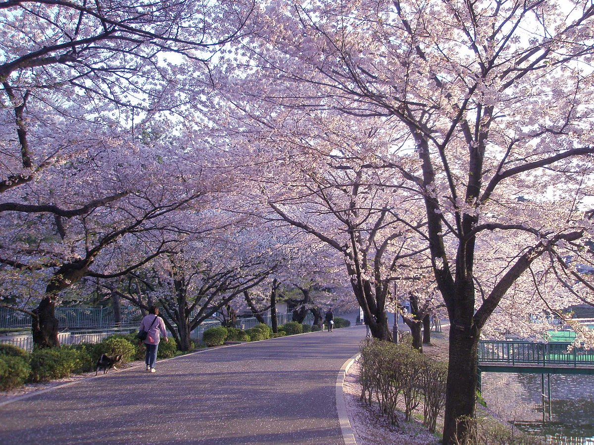 Sakura in Omiya Park 20090409-2.jpg