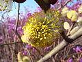 Salix caprea at Jirisan 03.JPG