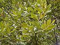 Salix purpurea purpurea 1.JPG