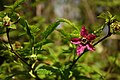 Salmonberry (5732553595).jpg