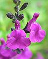 Salvia muelleri 3.jpg