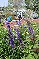 Salvia transsylvanica (5622263560).jpg