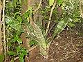 Sansevieria kirkii (?) - erect form (5624446160).jpg