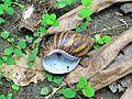 Sao Tome Ponta Figo Hike Land Snail 1 (16223158426).jpg