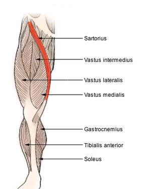 Sartorius muscle - Muscles of lower thigh. (Rectus femoris removed to reveal the vastus intermedius.)