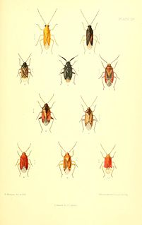 <i>Psallus haematodes</i> species of insect