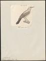 Saxicola melanura - 1700-1880 - Print - Iconographia Zoologica - Special Collections University of Amsterdam - UBA01 IZ16200318.tif