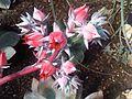 Saxifragales - Echeveria sp. 3.jpg