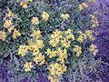 Saxifragales - Sedum kamtschaticum - 3.jpg