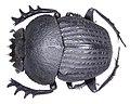 Scarabaeus catenatus Gerstaecker, 1871 (3029787698) (2).jpg