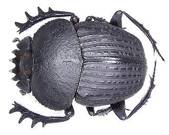 Scarabaeus - Image: Scarabaeus catenatus Gerstaecker, 1871 (3029787698) (2)