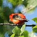 Scarlet Tanager (4609766360).jpg