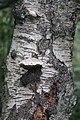 Schiermonnikoog - Berkenzwam (Piptoporus betulinus).jpg