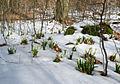 Schweineberg Märzenbecher Schnee Baum.jpg