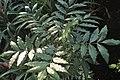 Sclerocarya birrea kz02.jpg