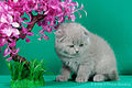 Scottish fold- straight 10.JPG