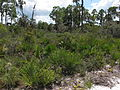 Scrub of Serenoa repens and Pinus elliottii.jpg