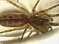Segestria senoculata (36277760050).jpg